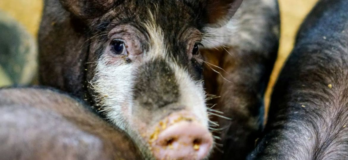 article_pig_wrangling