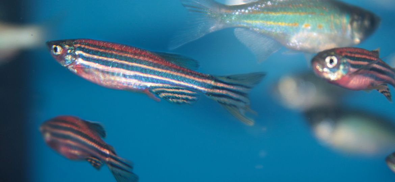 article_zebrafish